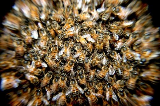 abejas-en-peligro-por-radiofrecuencias