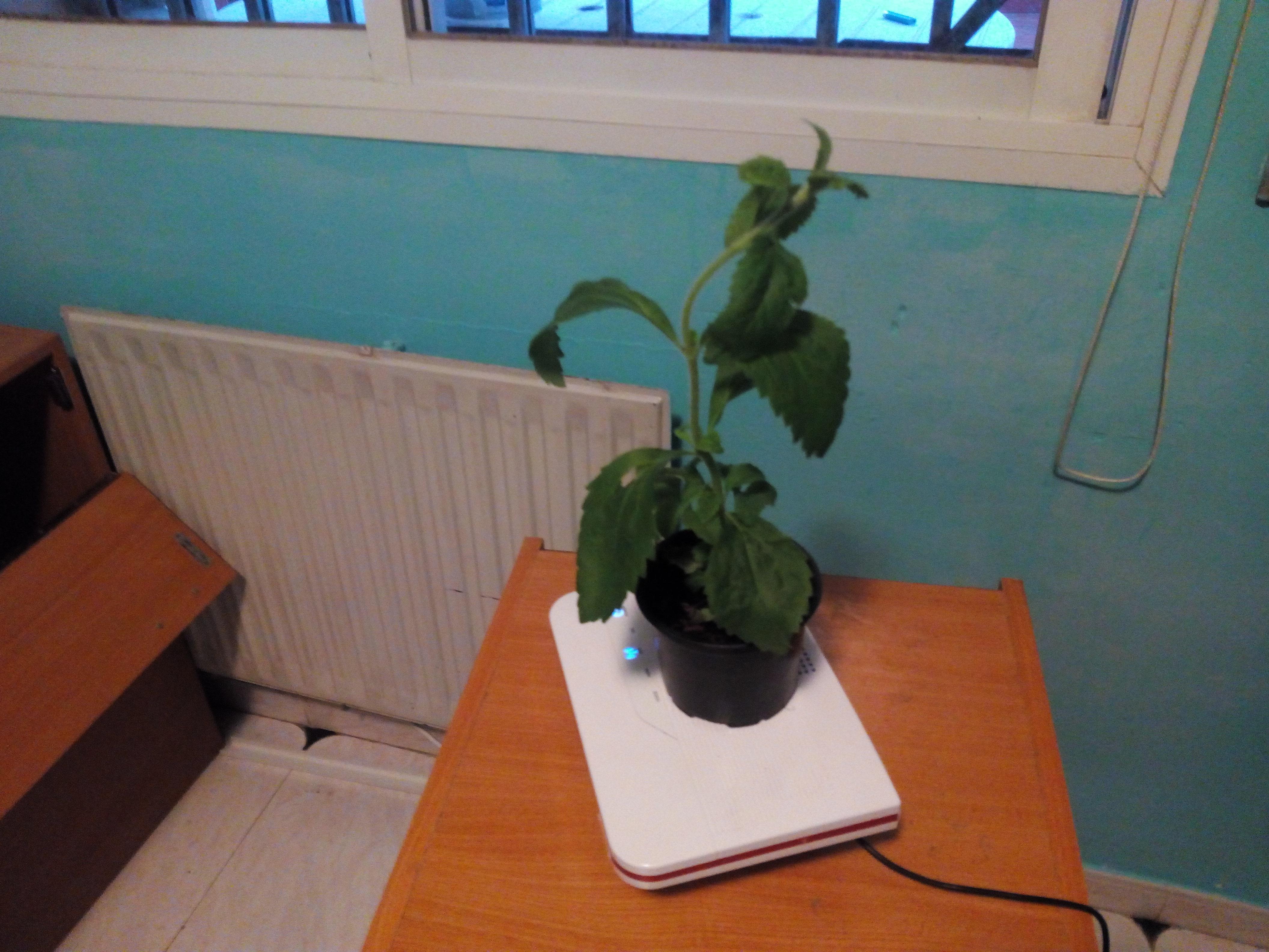 experimento-de-planta-de-estevia-con-router-wifi