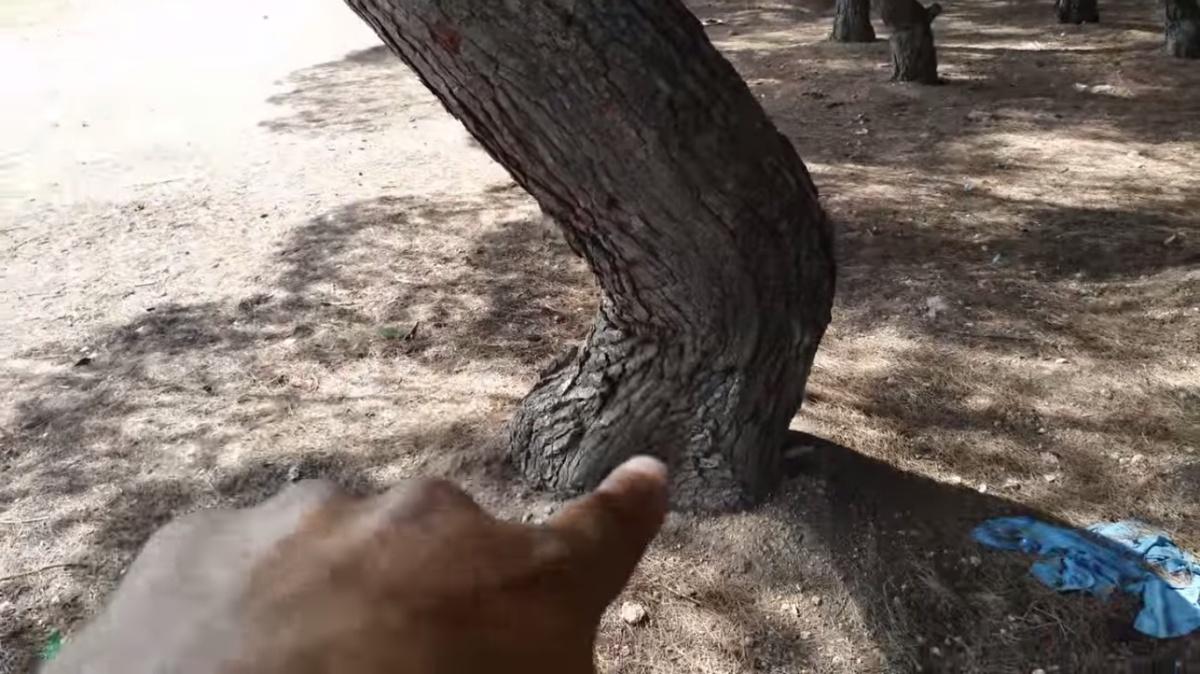 Giro oblicuo en el pino del bosque encantado por Joan Carles lópez