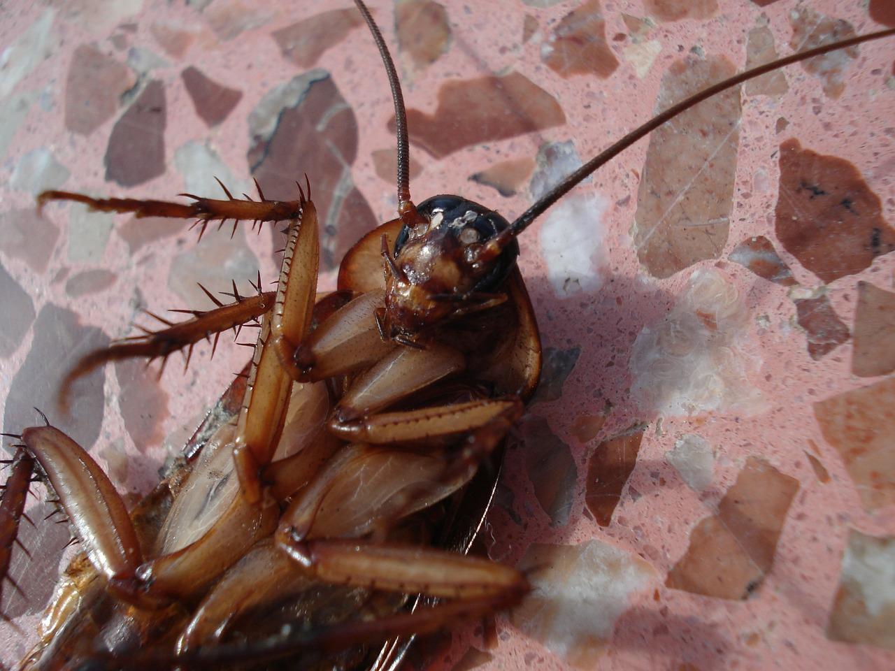 Cucaracha no resiste la radiación de un celular