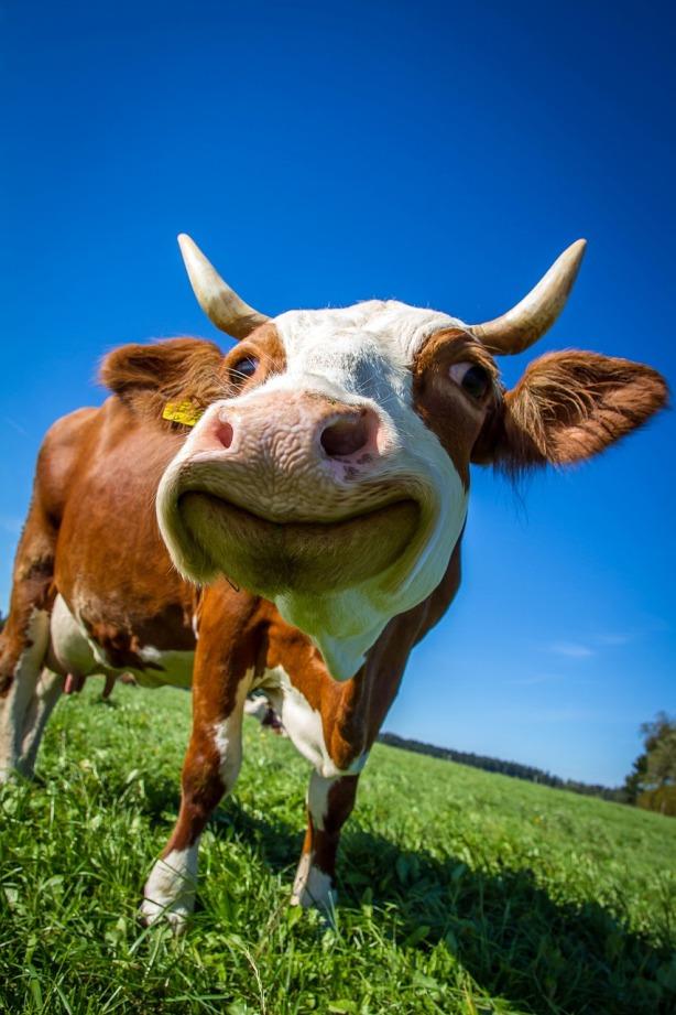 Vaca pastando en el prado libre de líneas de alta tensión por Gigahertz